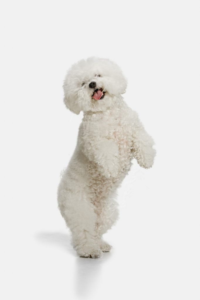 Bichon Frise - Separation Anxiety In Dogs