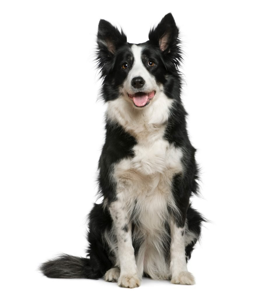 Border Collie - Separation Anxiety In Dogs