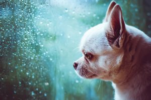 sad Chihuahua dog looks at the window - Dog Separation Anxiety Solutions: 6 Supplies to Help Your Dog