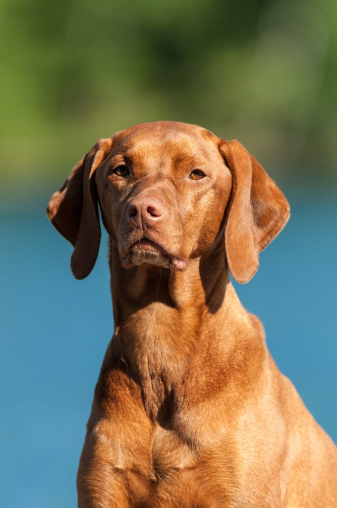 Hungarian Vizsla - Separation Anxiety In Dogs