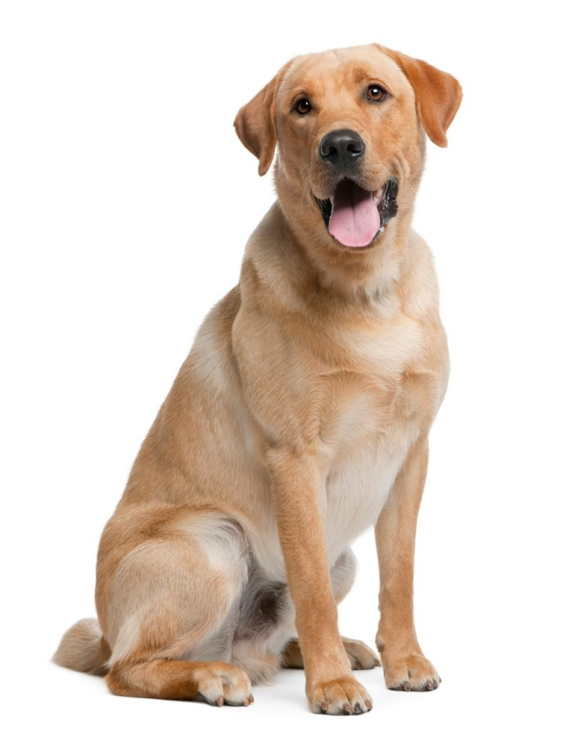 Labrador - Separation Anxiety In Dogs