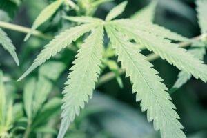 Marijuana plant - Hemp vs Marijuana: What's the Difference?